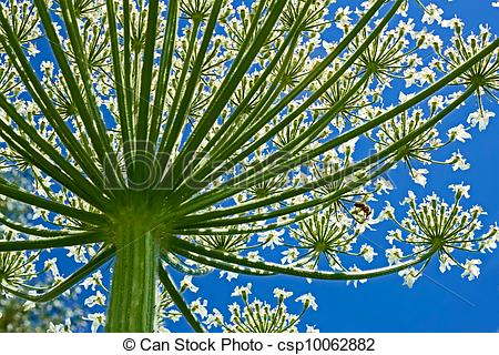 Pictures of Giant Hogweed (heracleum sphondylium) from below.
