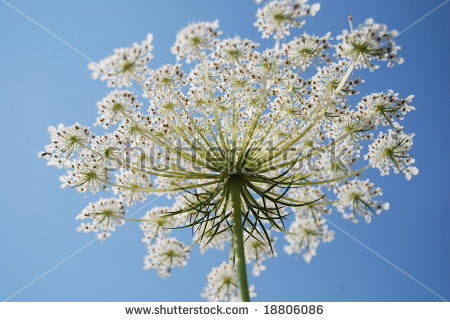 Heracleum Sphondylium Stock Photos, Royalty.