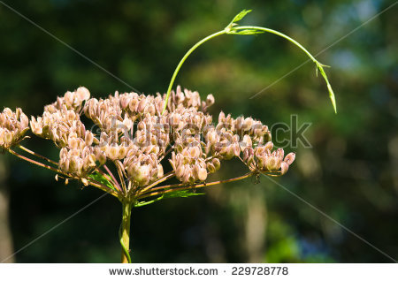 "heracleum Sphondylium"" Stock Photos, Royalty."