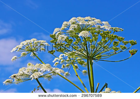 Heracleum Hogweed Sphondylium Stock Photos, Royalty.