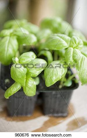Stock Images of Basil plants in plastic modules 960676.