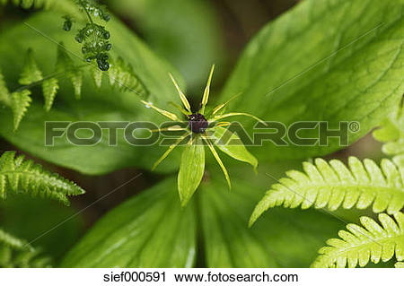 Stock Photography of Austria, Fruit of Herb Paris, True.