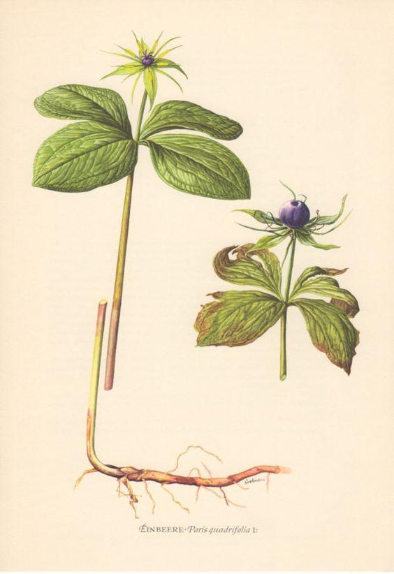 Quadrifolia de París 1955 antiguo botánico impresión Vintage.