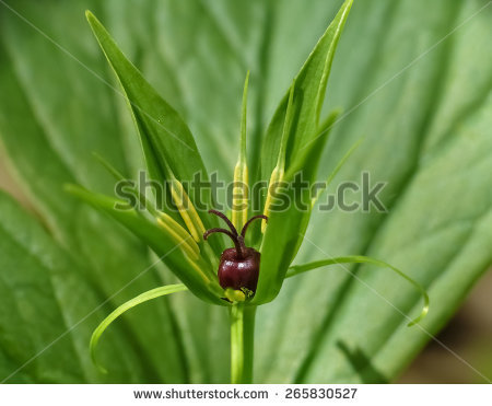 Herb Paris Stock Photos, Images, & Pictures.