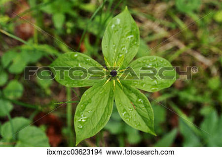 "Stock Photo of ""Herb Paris or True Lover's Knot (Paris quadrifolia."