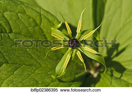 "Stock Image of ""Herb Paris (Paris quadrifolia), close."