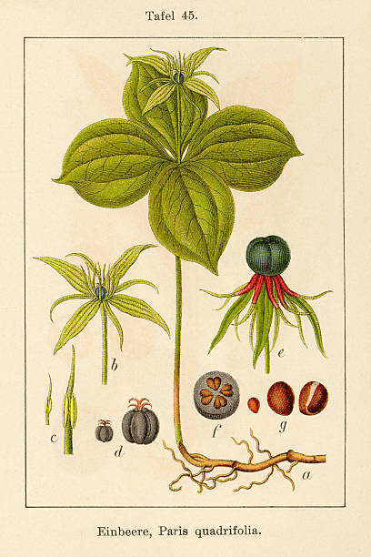 Paris Quadrifolia Clip Art, Vector Images & Illustrations.