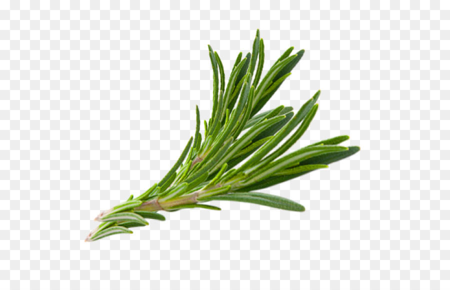 Download Free png Rosemary Herb Thymes Hair herbs png download 570.