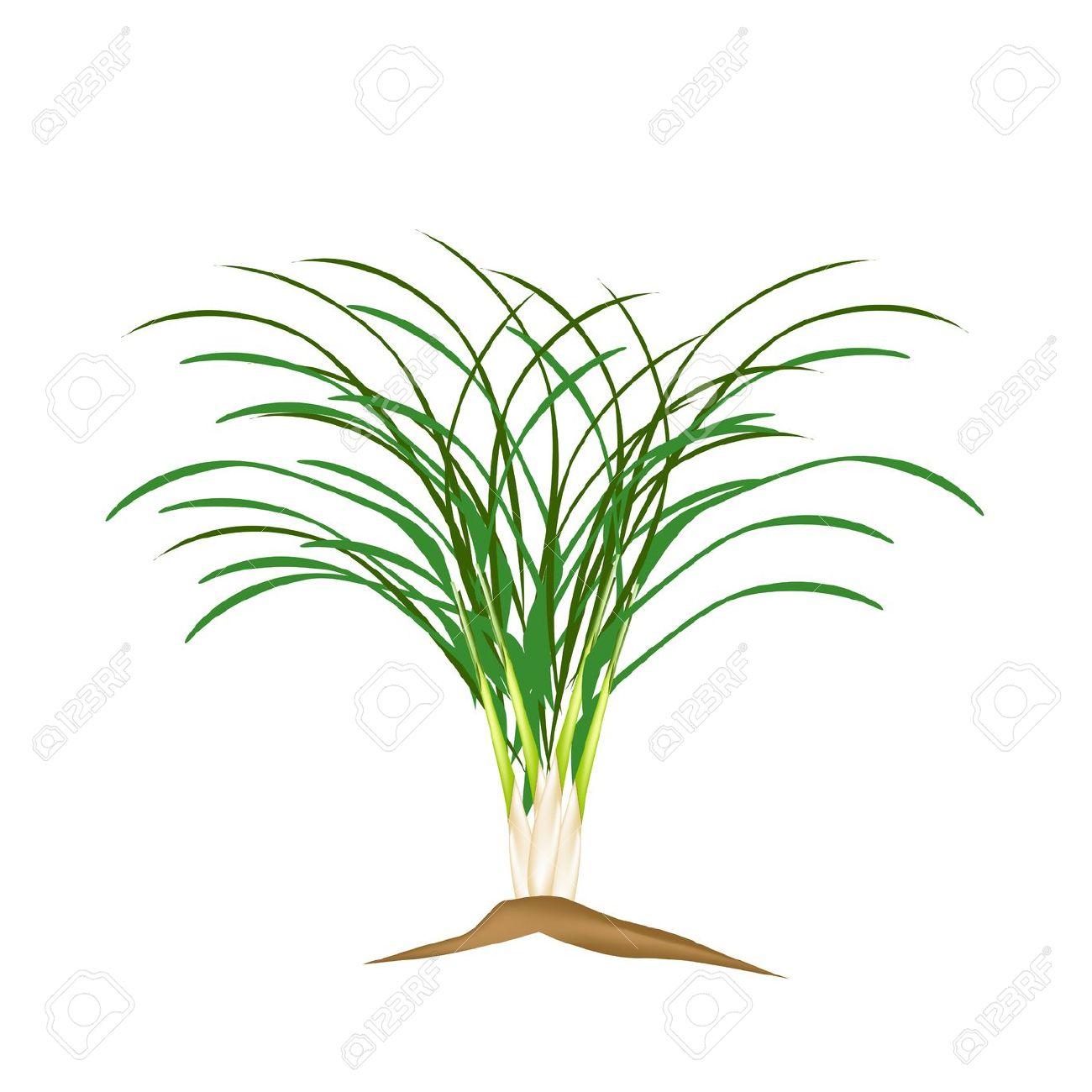Vegetable And Herb, Vector Illustration Of A Fresh Lemon Grass.