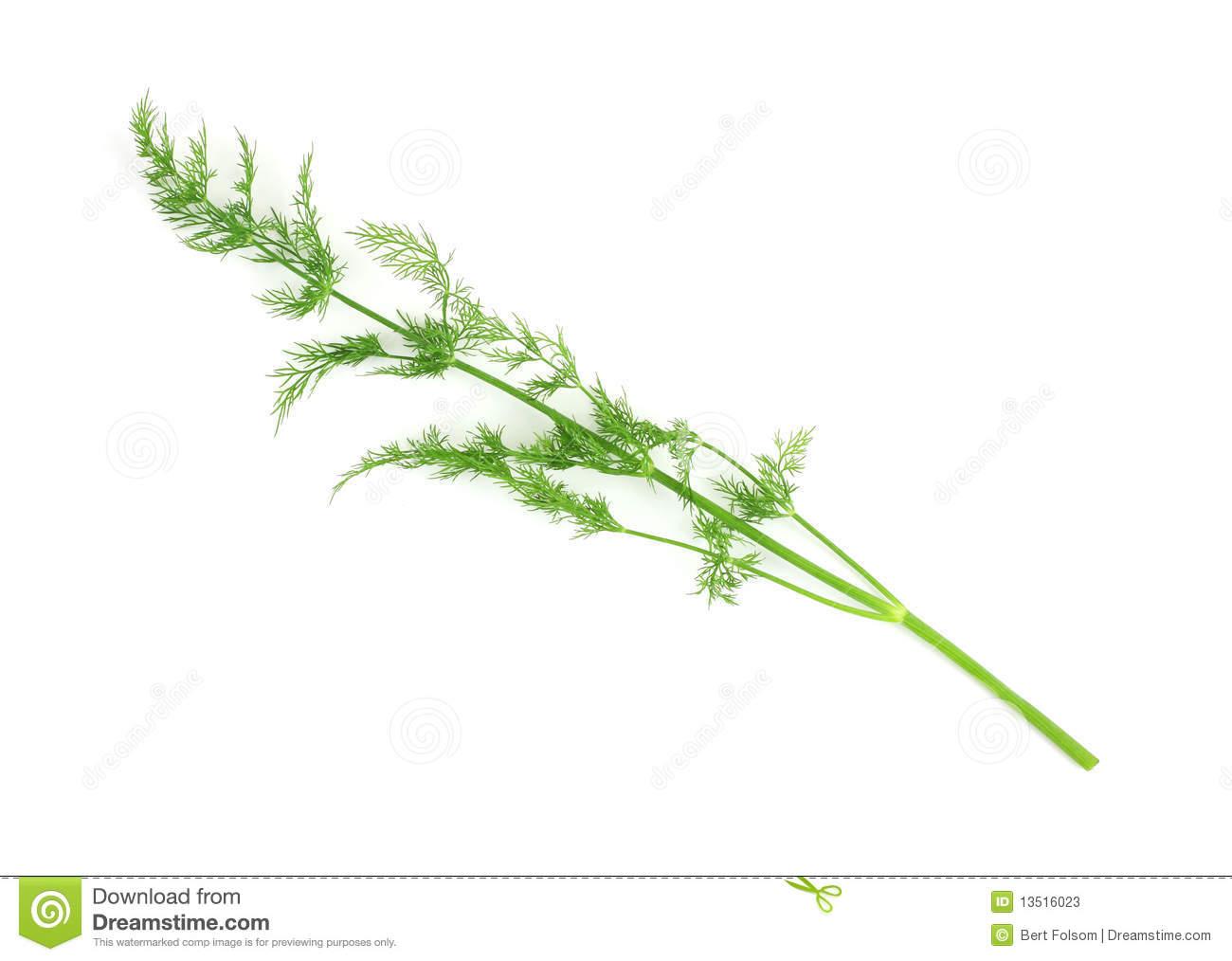 Single Stalk Of Organic Dill Herb Stock Photos.