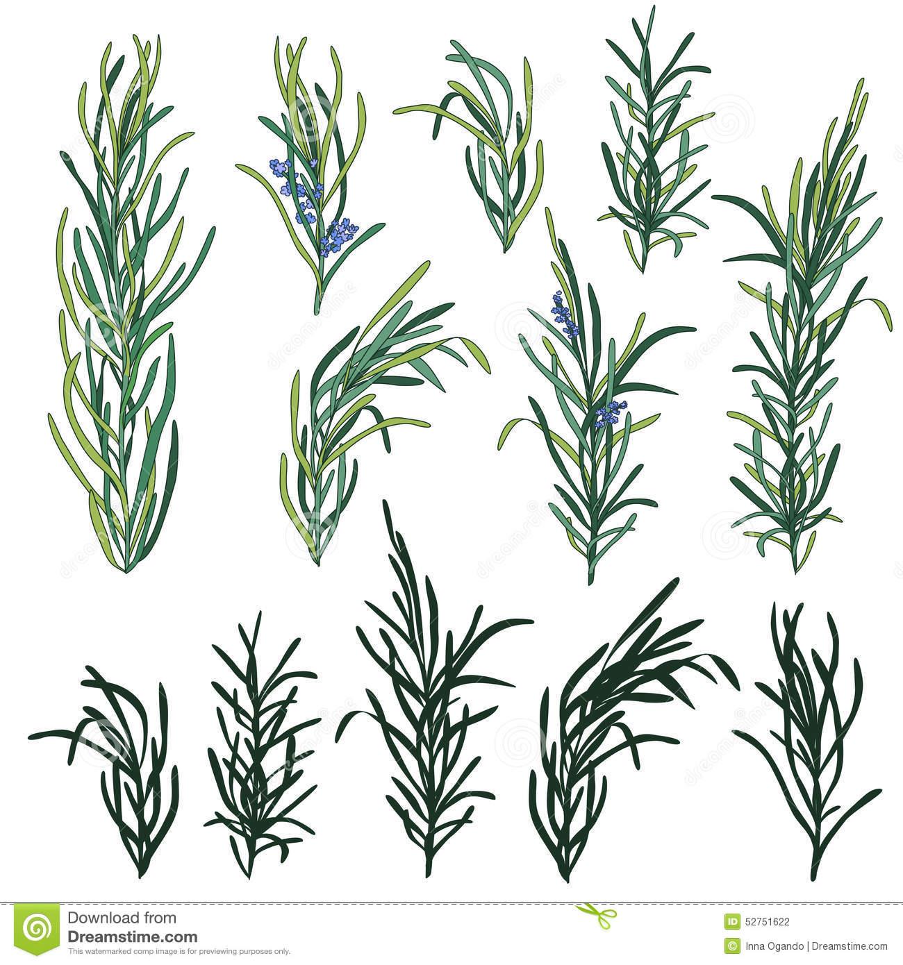 Fresh Italian Parsley Herb Royalty Free Stock Photos.