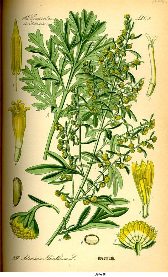 Artemisia Dracunculus / Tarragon / ترخون یا تلخون (Artemisia.