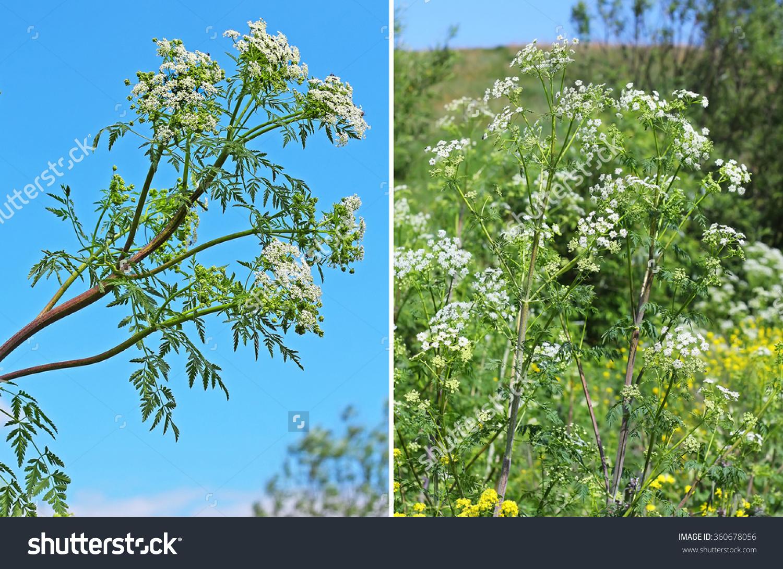 Spotted Hemlock (Conium Maculatum).