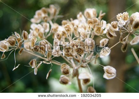 Common Hogweed.
