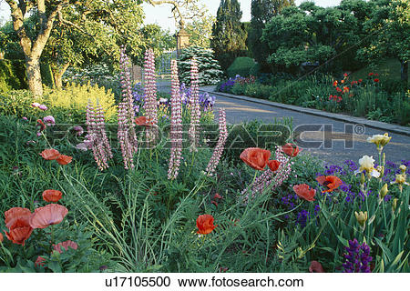 Stock Photography of Pink Veronica Virginica and red perennial.