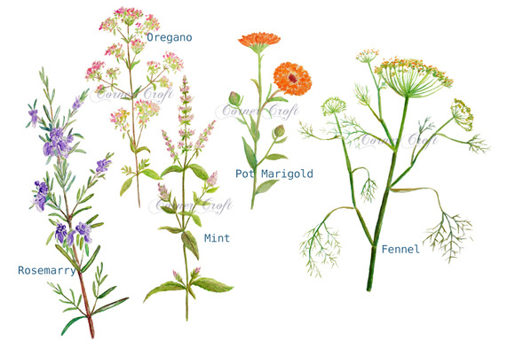 Watercolor Clipart Herb Flowers.