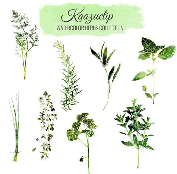 Watercolor Herb & Spices Vector Set.