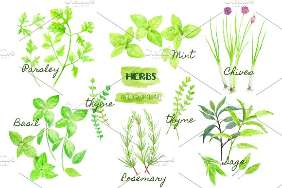 Watercolor Clipart Herb Collection ~ Illustrations on Creative Market.