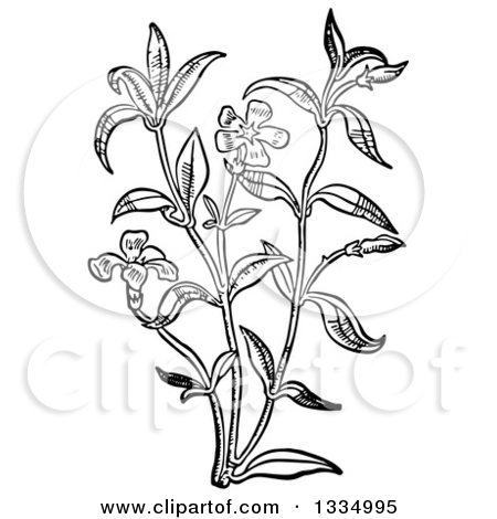 Clipart of a Black and White Woodcut Herbal Medicinal Periwinkle.