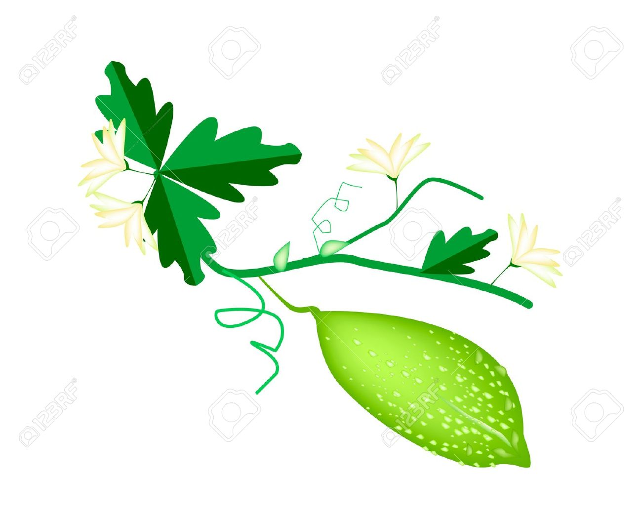 Vegetable And Herb, Vector Illustration Of Balsam Pear, Balsam.