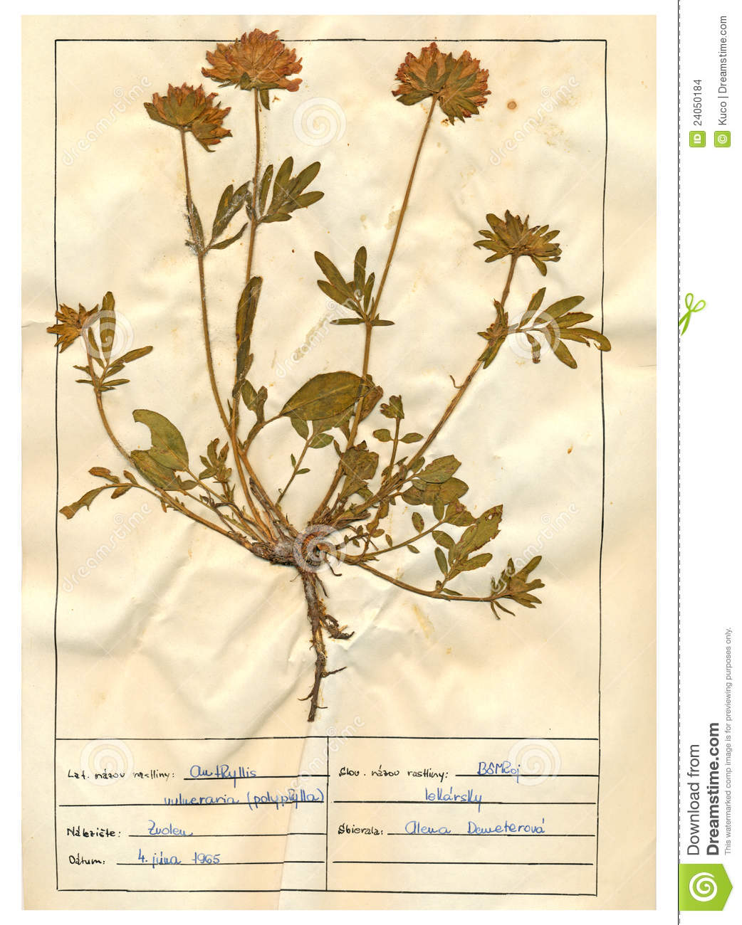 Herbarium Sheet.