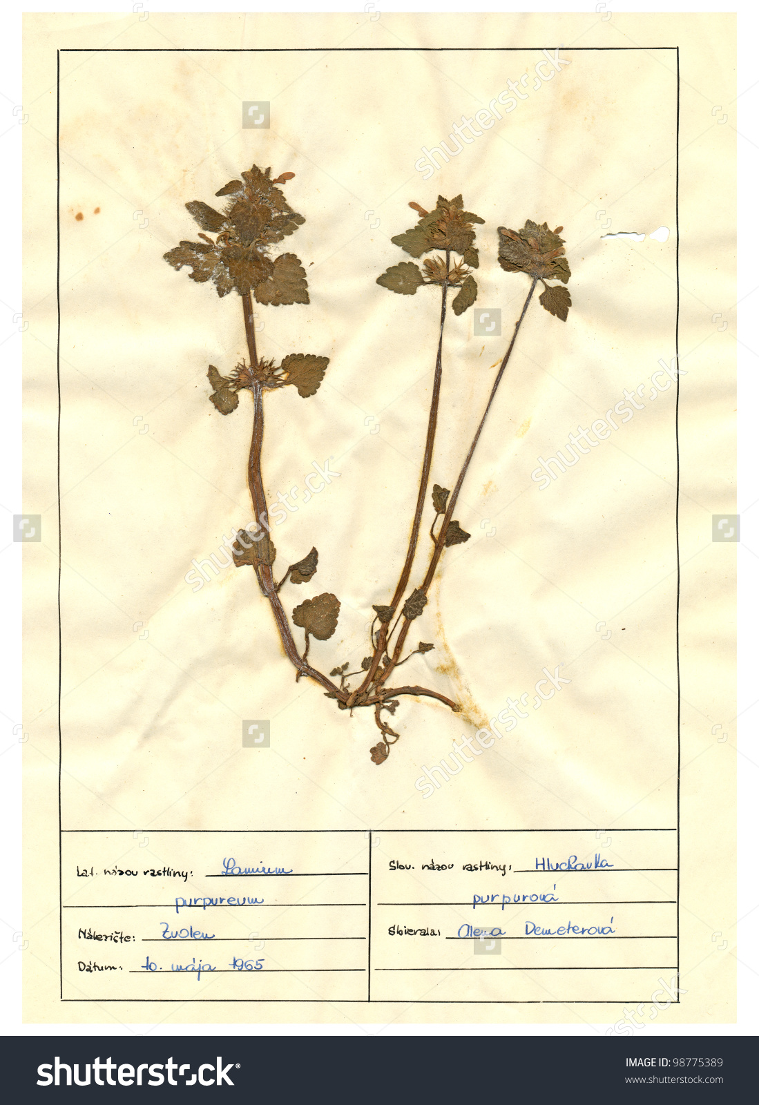 Herbarium Sheet Pressed Plant Red Deadnettle Stock Photo 98775389.