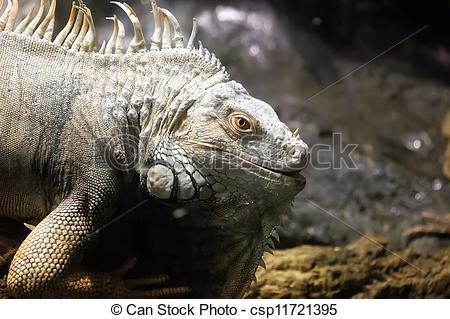 Stock Photographs of Green Iguana or Common Iguana (Iguana iguana.
