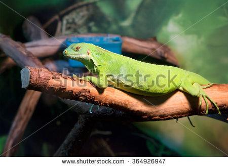 Green Iguana Large Herbivorous Lizard Of The Iguana Family, A.