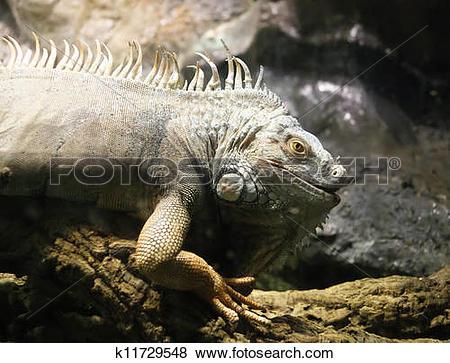 Pictures of Green Iguana or Common Iguana (Iguana iguana) is a.