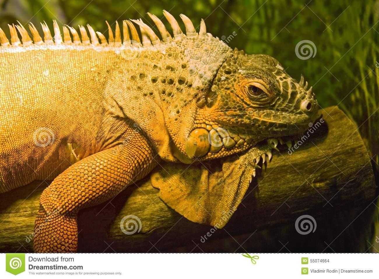 Iguana Lizard Dragon Herbivorous Lizard Scaly Stock Photo.