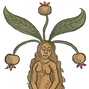 female mandrake root, Harry Potter's World Renaissance Science.