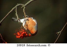Bullfinch Stock Photo Images. 3,218 bullfinch royalty free.