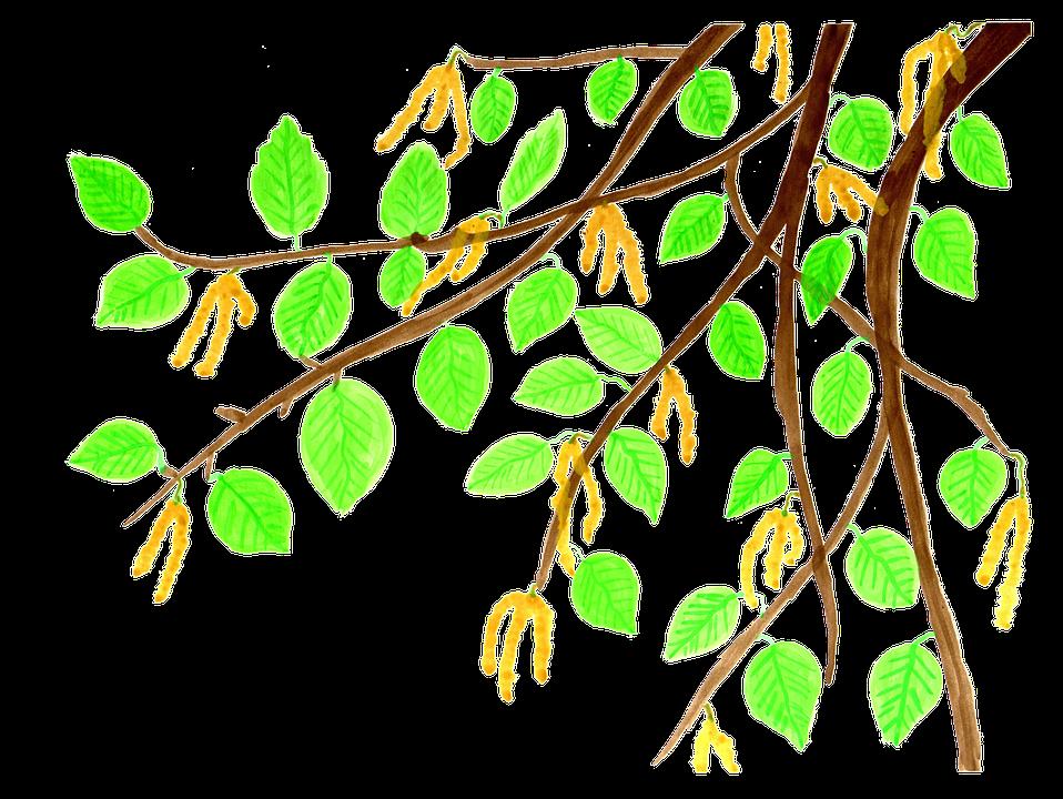 Free illustration: Birch, Branch, Leaves, Watercolor.