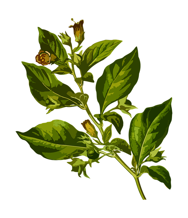 Free vector graphic: Belladonna, Deadly, Herbal.