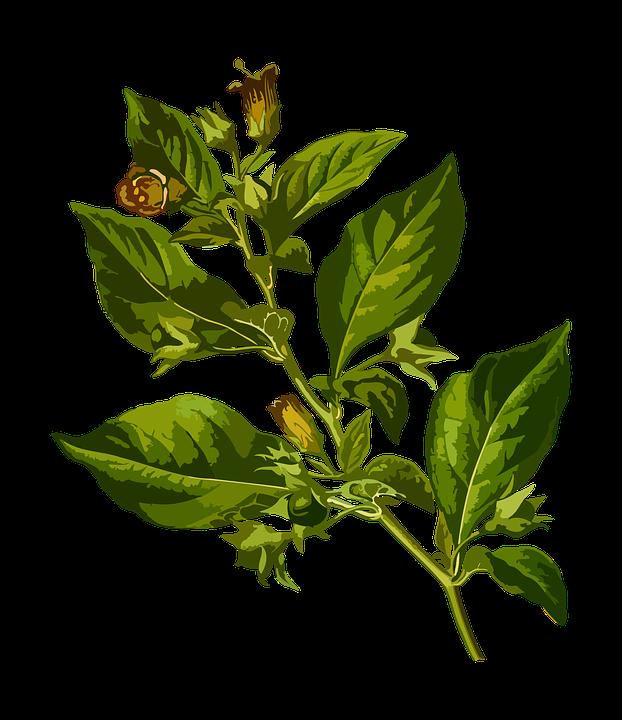 Free vector graphic: Belladonna, Deadly, Herbal.