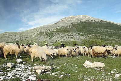Sheep Grazing In Bosnia And Herzegovina Royalty Free Stock.