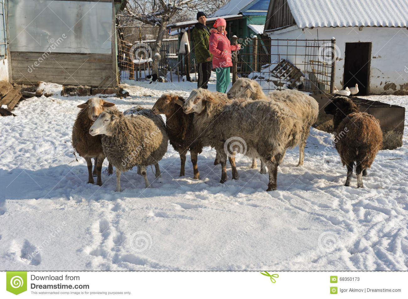 A Small Flock Of Sheep In The Household Of A Rural Family.