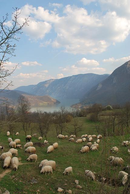 Sheep Flock Or Herd Related Keywords & Suggestions.