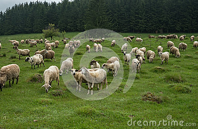 Hairy Sheep On A Green Meadow 49 Stock Photo.
