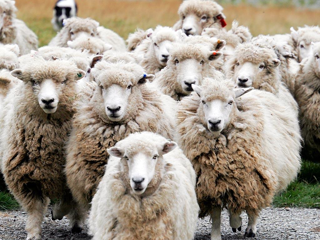 Sheep effect (or Herd behavior).