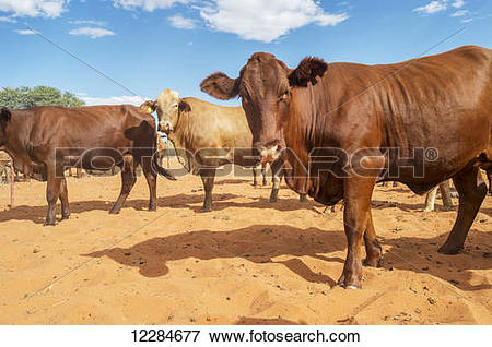 Picture of A herd of cows on sand; Namibia 12284677.