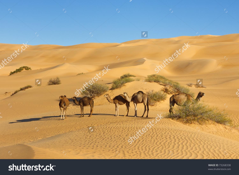 Camel Herd In The Desert.