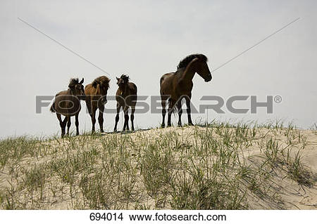 Stock Photo of Four wild Banker Ponies standing on a sand dune.