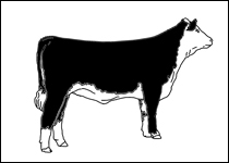 Gallery For > Hereford Steer Clipart.