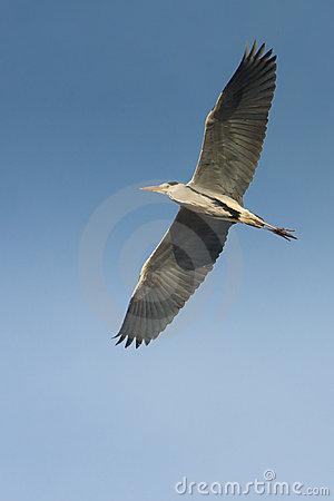 Great Grey Heron In Flight Stock Images.
