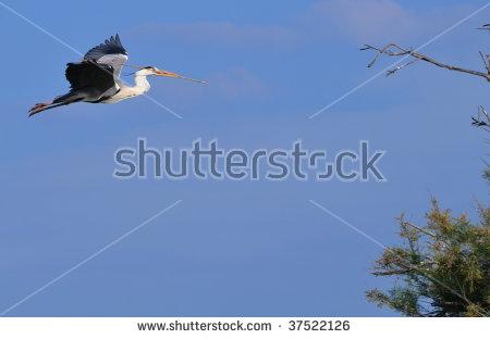 Ardea Adult Cinerea Gray Heron Stock Photos, Royalty.