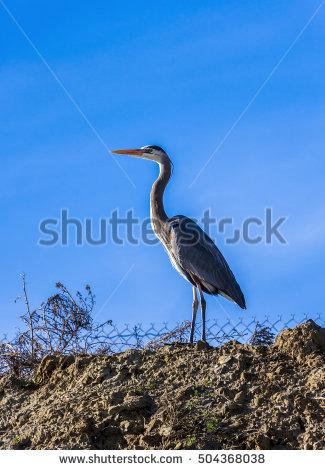 Grey Heron Isolated Stock Photos, Royalty.