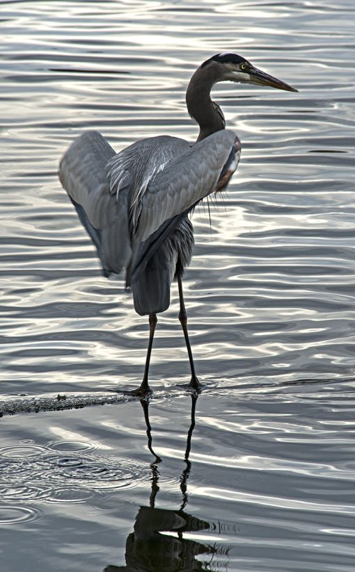1000+ images about Blue Heron on Pinterest.