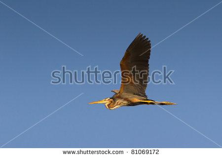 Blue Heron Isolated Stock Photos, Royalty.