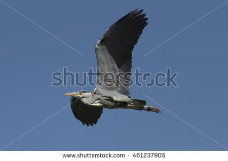 Flight Of Grey Heron Stock Photos, Royalty.